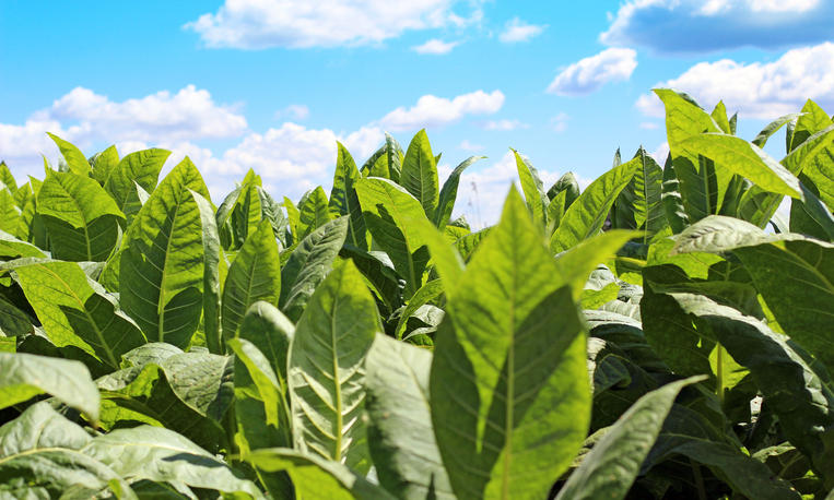 A field of tobacco leaves being grown in summer